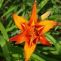Hemerocallis__day_lily__flower_detail_20-07-2009