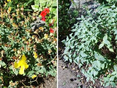 Hypericum_-_before___after_haircut