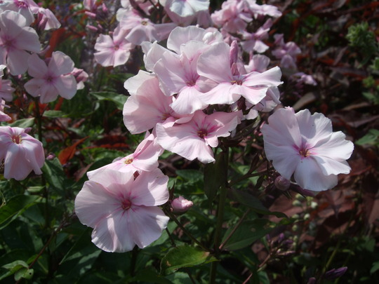 Pale_pink_phlox