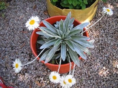 White_daisy_plant_090601