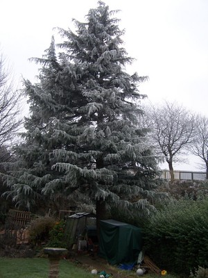 Pine_tree_west_view_20090102