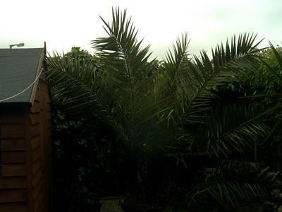 Garden_palm_001