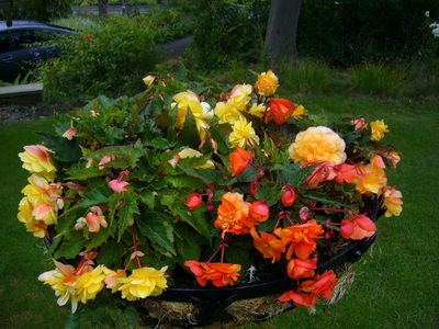 Begonias_and_heather_fields_005