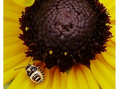 Bug_on_rudbeckia