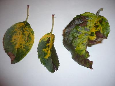 Apple tree disease - please help! : Grows on You