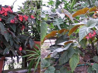 Begonia Identification Grows On You