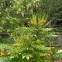 Mahonia_japonica