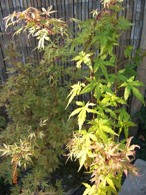 Acer_palmatum_butterfly_001