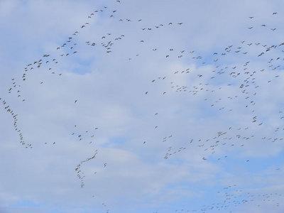 Geese-nov-2008
