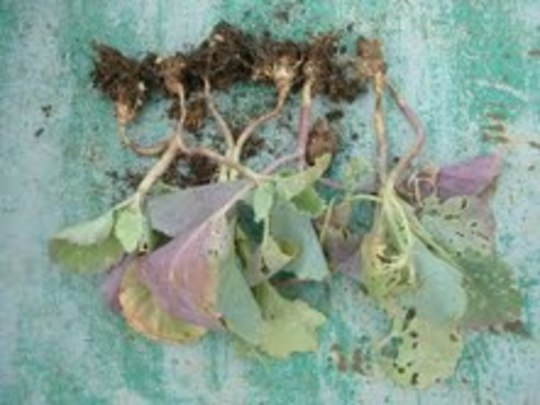 Clubroot1