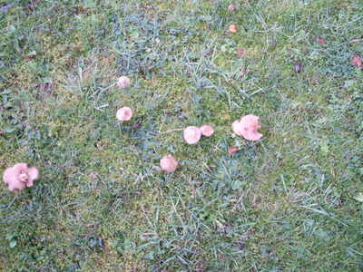 Fungus_in_grass_001