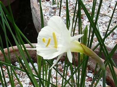 Narcissustaffeta
