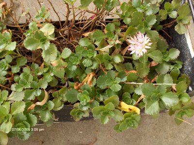 No_clue_succulent