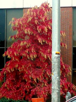 Gorgeous_red_tree__2