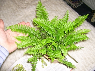 Anyone Know What Type Of Fern This Is Grows On You
