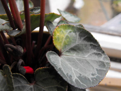 Why Are My Cyclamen Leafs Turning Yellow Amp Falling Off