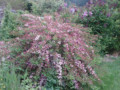 Pink_bush2