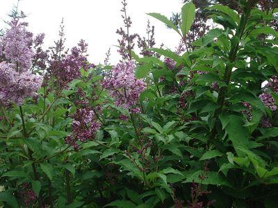 Lilac_like_bush