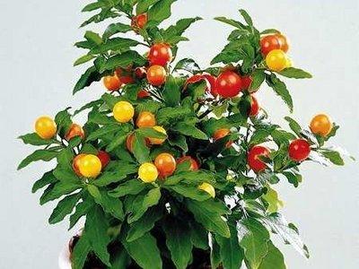 Solanum_capsicastrum