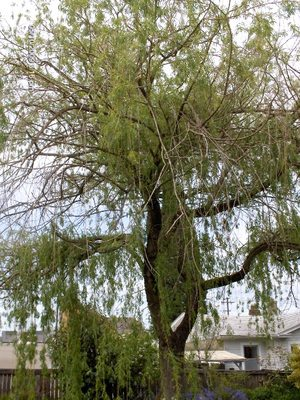 My_poor_willow_tree