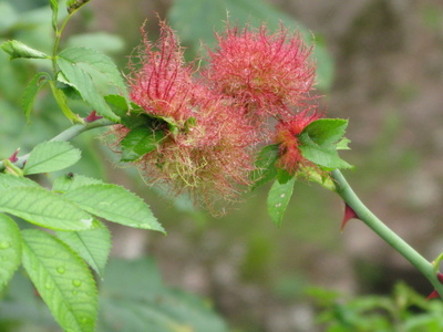 2008__taken_at_goodrich_castle_growing_on_the_stems_of_a_wild_rambling_rose.__wonder_what_it_is.