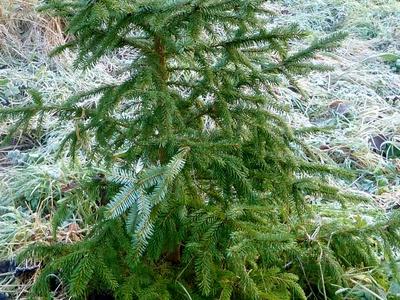 Pinus_3