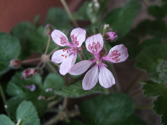 Erodium_pelargoniflorum