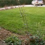 Cotoneaster_1_