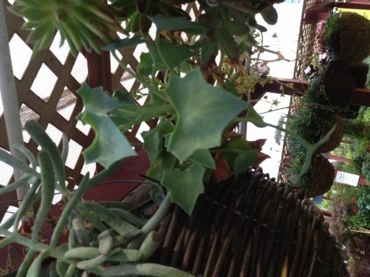 Succulent_vine_1
