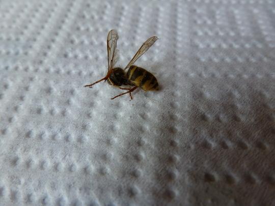 Bee_wasp_identification_001