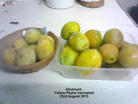 Allotment_yellow_plums_harvested_23_08_2013