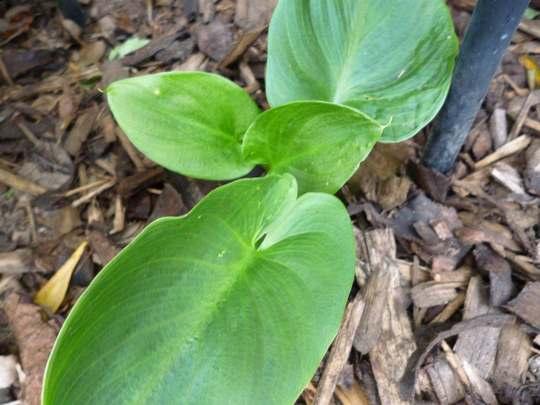 Id_leaf