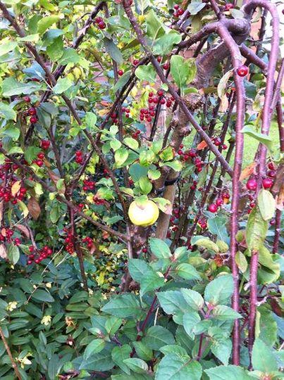 Apple_on_cherry_tree