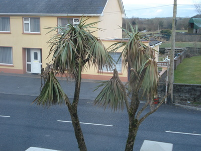 Cabbage_palm