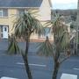 Cabbage_palm