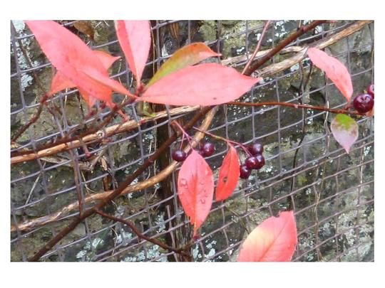 Amelanchier_canadensis_or_blueberry