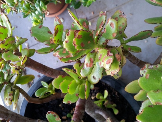 Jade.plant1