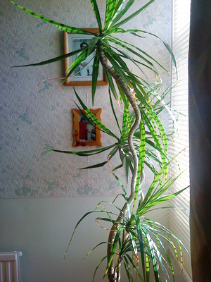 Plant_in_living_room__cordyline__2010-03-05