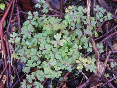 Corydalis_seedlings_20.3.10