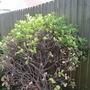 Garden20131054_54_poorly_busk