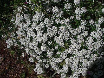 Low_growing_shrub2