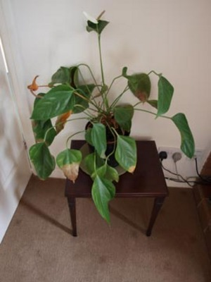 Poorly_house_plant