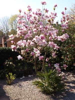 Next_door_s_magnolia
