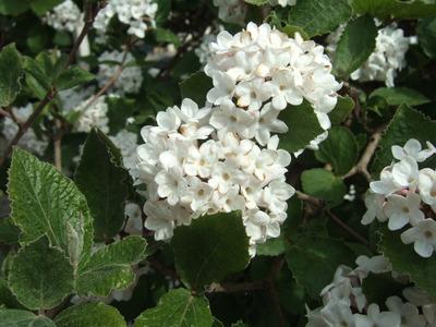Viburnum_bush
