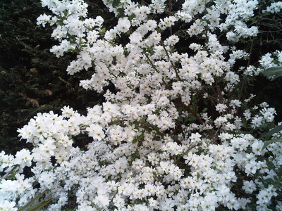 Can Anyone Help Me Identify This Beautiful White Flowering Shrub