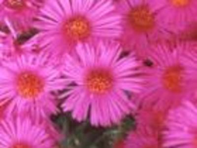 Colout-bright-pink-flowers