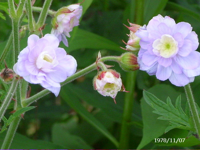 New_hardy_geranium_12_june_08_003