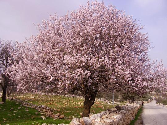 Almond_tree_wallpapers_jpg