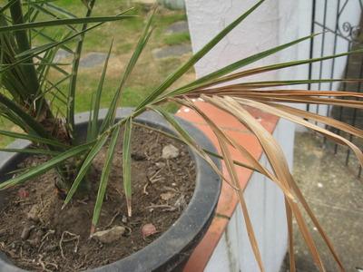 Canary_palm