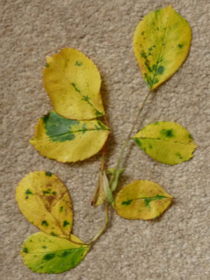Rose_leaves_may_2010